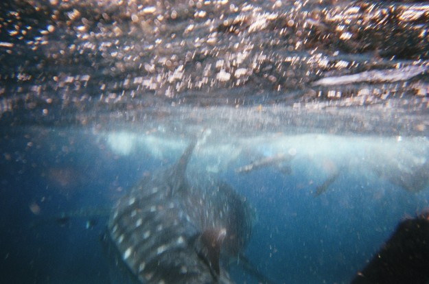 Come back whale shark!