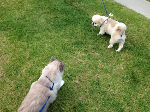 Walking a Cat: Rooney trying to make a new friend.