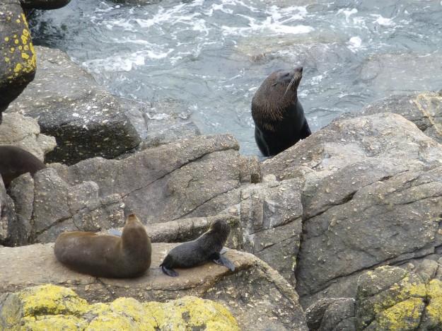 Kekeno Bay Seals: A Seal Family