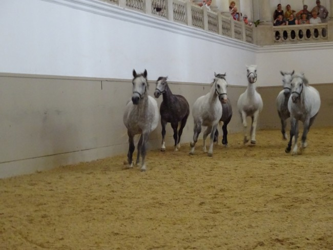 Lipizzaner Horses, I was soon to learn during my time at the Spanish Riding School in Vienna, love to run.
