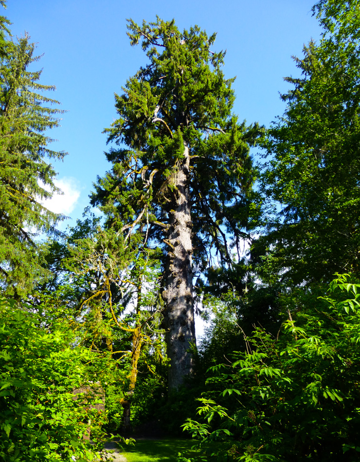 The World's Largest Spruce Tree by Lake Quinault.