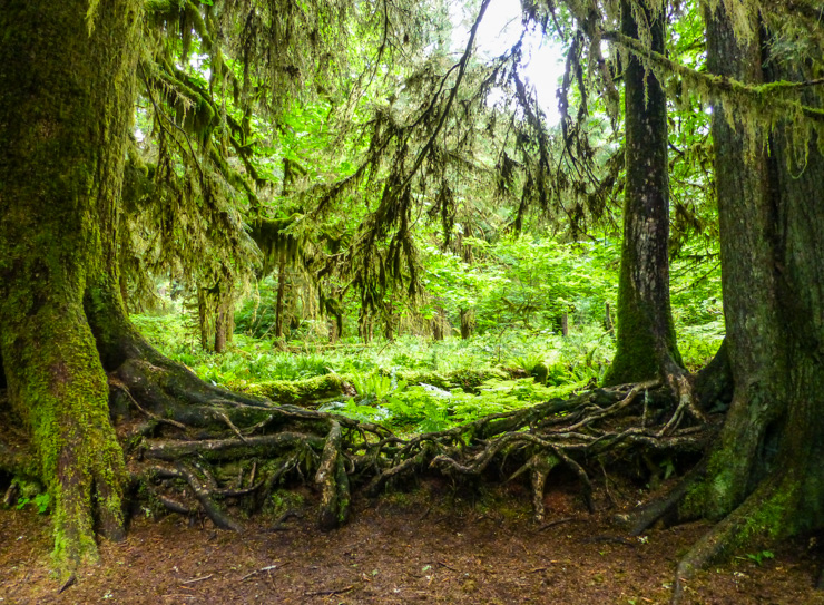 The temperate rain forests in Washington are incredible green thanks to the mossy trees and bright green plants.