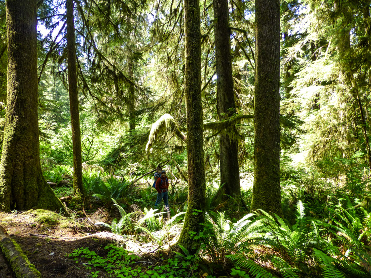 Tall, tall trees in the Hoh and Quinault rain forests.