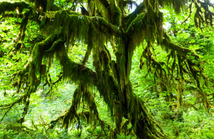 One Weekend in the Washington Rain Forests: Exploring Hoh and Quinault