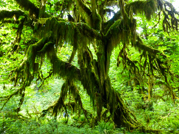 A tree in the Hall of Mosses part of the Trail of Mosses