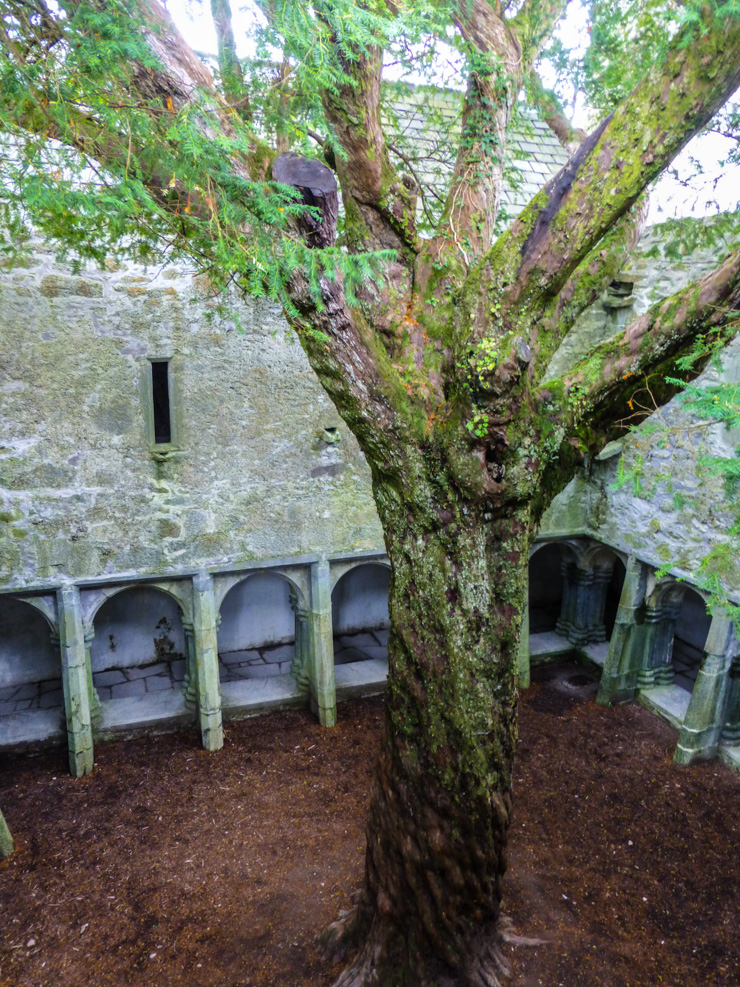 The center courtyard of Muckross Abbey in Killarney with a large tree growing in the middle of it.