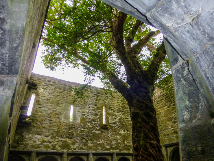 Tree in the middle of Muckross Abbey in Killarney, Ireland.