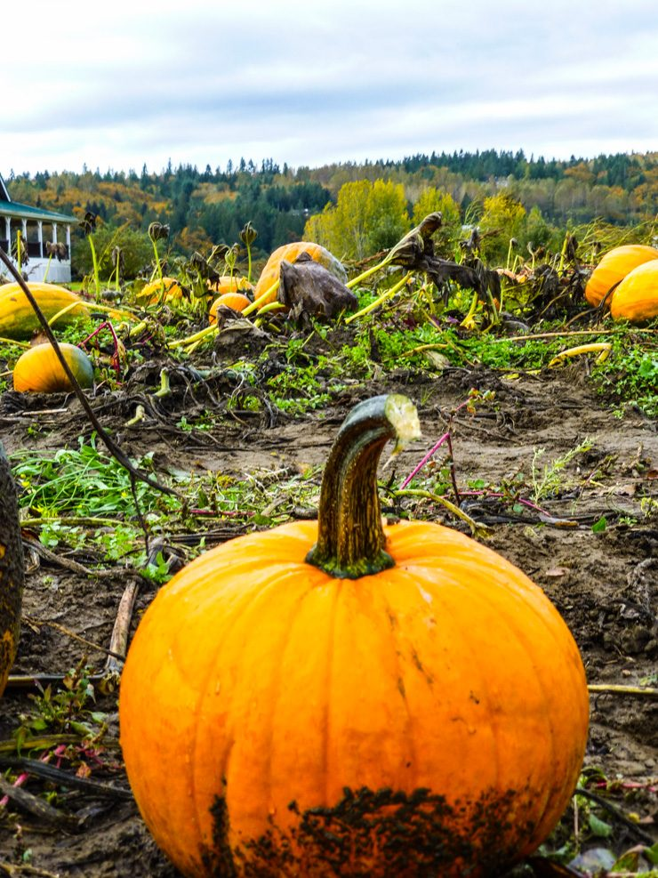 Pumpkins get picked fast on the Seattle Eastside.