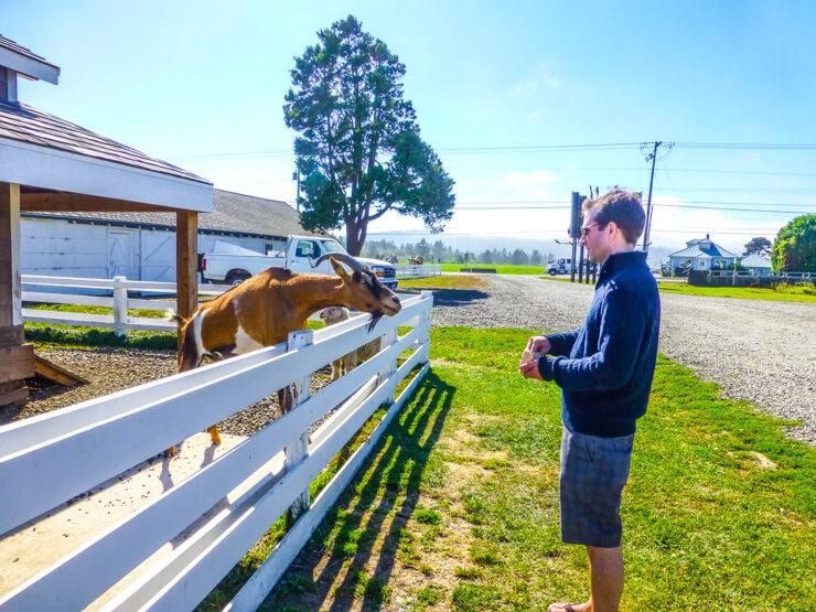 Feeding goats.