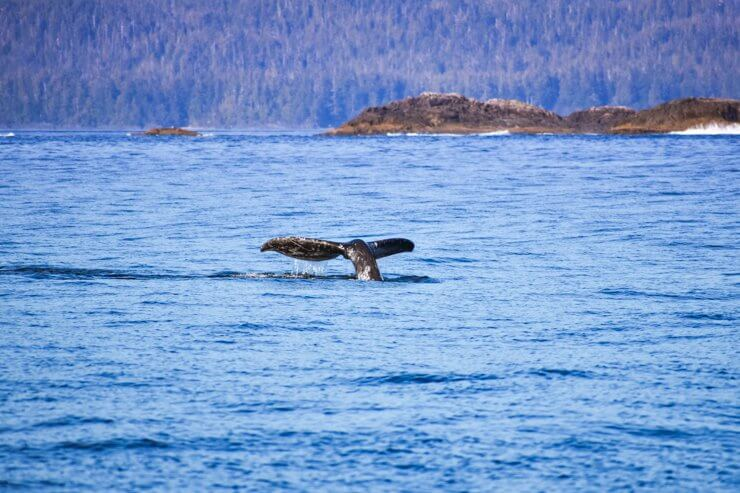 Whale spotted during a whale watching tour in Tofino