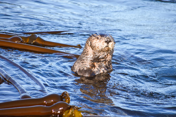 Sea otter spotted during a Vancouver Island whale watching tour.