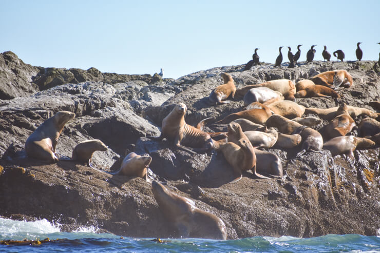 Sea lions on a whale watching tour from Tofino, British Columbia