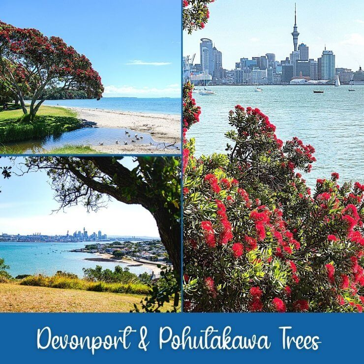 Pohutakawa Trees are lovely trees to see in Auckland, especially when they're flowering. A popular place to see them is along the Devonport Beach.