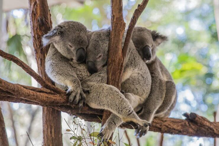 Cute and cuddly Koala Bears in Brisbane at Lone Pine Koala Sanctuary. If you love koalas, you can't miss a stop here during a day in Brisbane.