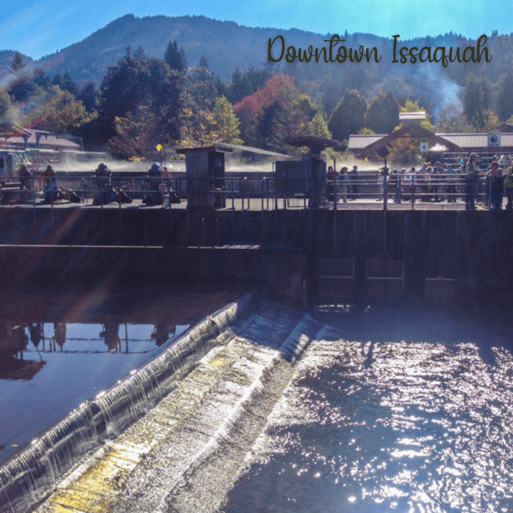Looking at salmon in Issaquah Creek in downtown Issaquah