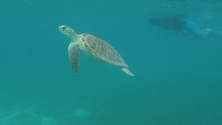 Sea turtle seen while snorkeling in the waters of Saint Thomas.